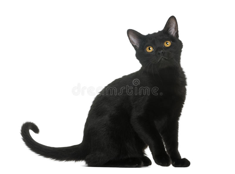 Download Bombay Kitten Sitting And Looking Up Stock Photo - Image: 30420154