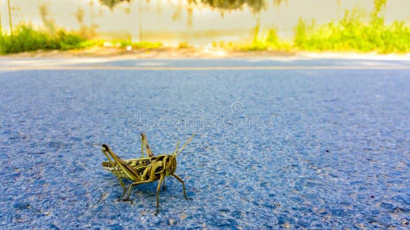 Bombay szarańcza, Nomadacris succincta jest zazwyczaj odludnym insektem Szarańcza w przybyciu w miasteczku na ulicie i fotografia royalty free