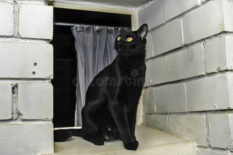 Bombay-Zuchtkatze lizenzfreies stockbild
