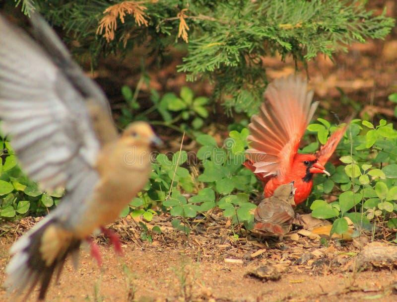 Bombe di foto della colomba fotografia stock