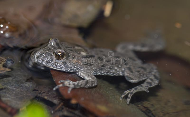 Bombina bombina. Red-bellied toad in water royalty free stock photography