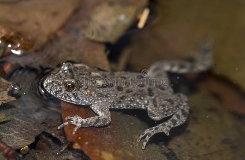 Bombina bombina. Red-bellied toad in water stock image