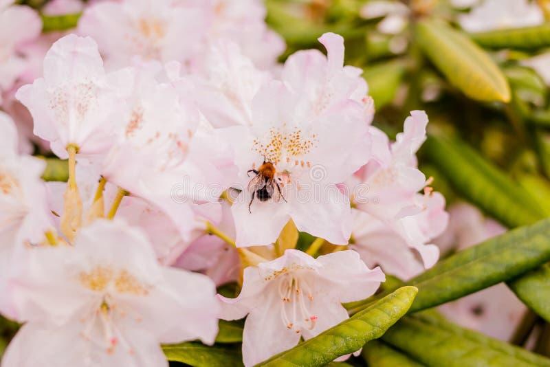 Bombo che si alimenta un nettare del rododendro Rododendro in giardino Fiori di estate Stagione delle azalee di fioritura immagine stock