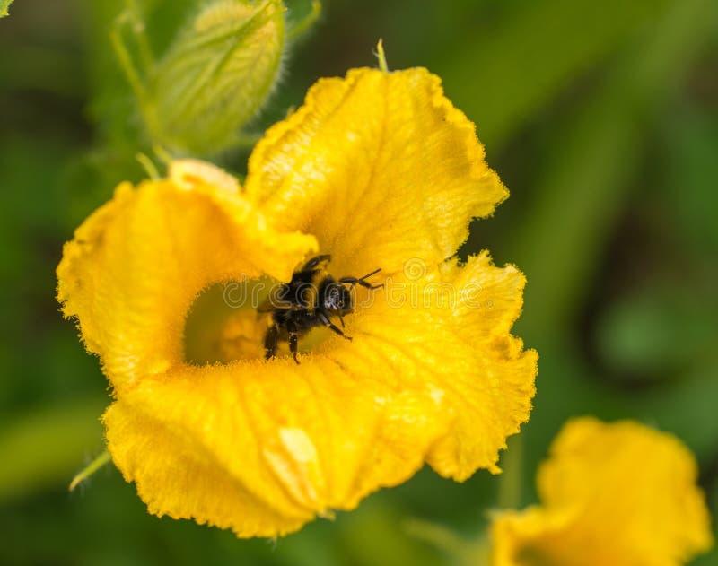 Bombo che si siede sopra sul fiore giallo della zucca e sul polle colecting fotografia stock libera da diritti