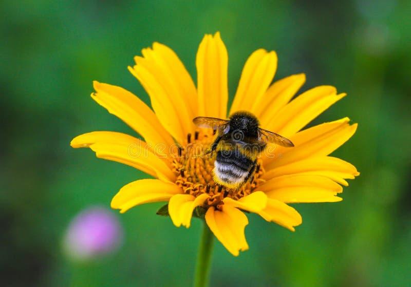 Bombo che si siede sul Coreopsis del fiore fotografia stock libera da diritti