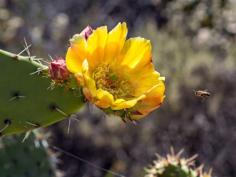 Bombo di California al cactus di fioritura della pera di Pricky al parco della regione selvaggia della costa di Laguna, Laguna Be immagini stock