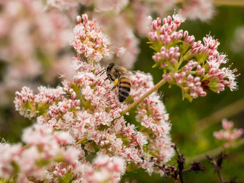 Bombo di California che raccoglie il polline del Wildflower al parco della regione selvaggia della costa di Laguna, Laguna Beach, immagine stock libera da diritti