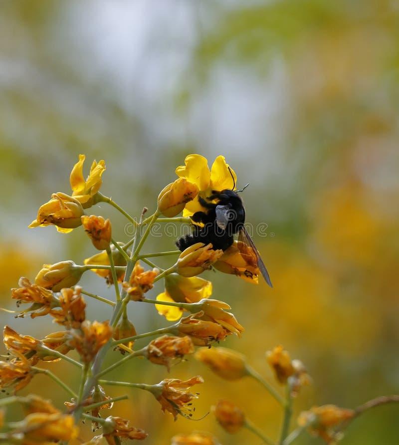Bombo nero su un fiore giallo fotografia stock libera da diritti