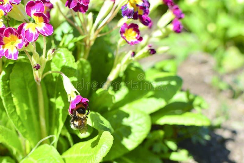 Bombo su un fiore rosso fra i fiori e le foglie verdi Sul nettare del fiore Raccolga il nettare fotografia stock