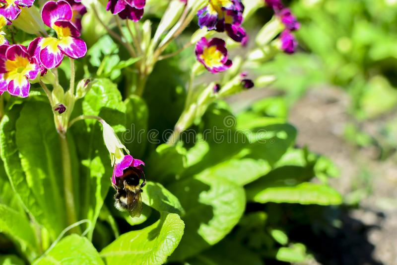 Bombo su un fiore rosso fra i fiori e le foglie verdi Sul nettare del fiore fotografie stock libere da diritti