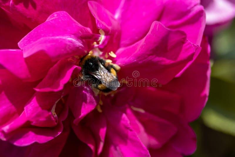 Bombo su una rosa rosa esagerata immagine stock