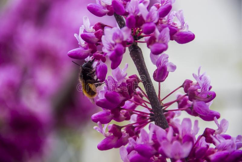 Bombo sui fiori del redbud fotografia stock
