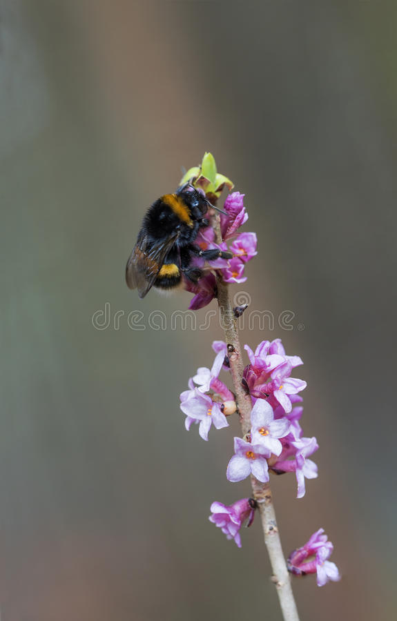 Bombo sul ramoscello tossico di fioritura del daphne fotografia stock