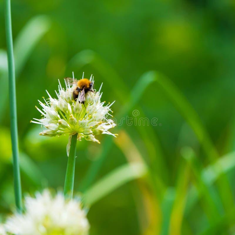 Bombo sulla cipolla di inverno bombo nero Rosso-munito che raccoglie polline dal fiore della cipolla fotografia stock libera da diritti