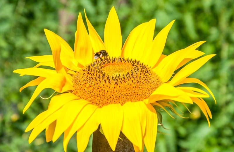Bombo sulla giovane fine del fiore del sole sul fuoco selettivo immagine stock