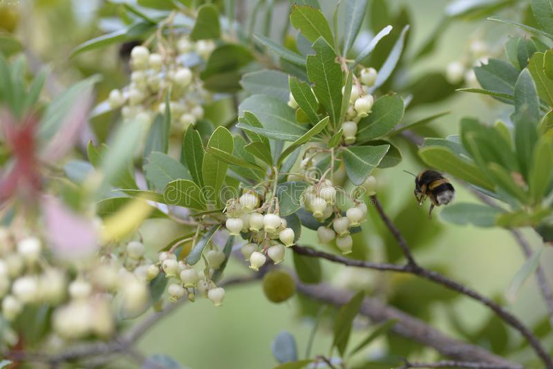 Bombus or bumblebee looking for food in an Arbutus unedo. Bombus is a genus of hymenoptera of the Apidae family. Nature, insect, macro, summer, animal royalty free stock photos