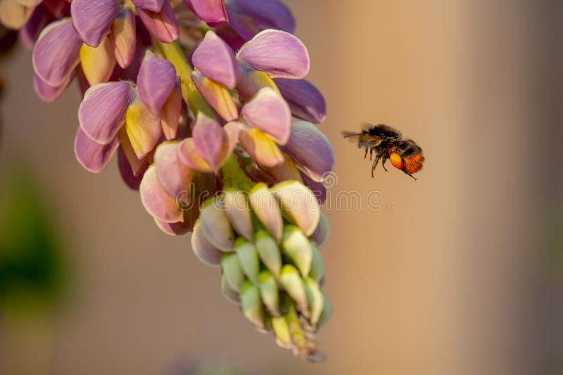 Bombus lapidarius jest gatunki powszechnie znać jako t bumblebee fotografia stock