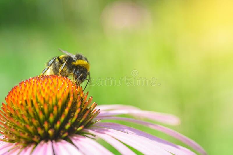 Bombus. Single bumblebee on echinacea flower royalty free stock photography