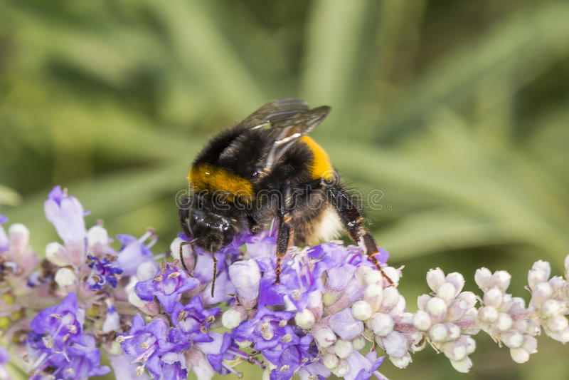 Bombus terrestris, Buff-tailed bumblebee, Large earth bumblebee on Vitex agnus-castus, Chaste tree, Chasteberry. Abraham's Balm, Monk's pepper royalty free stock photo
