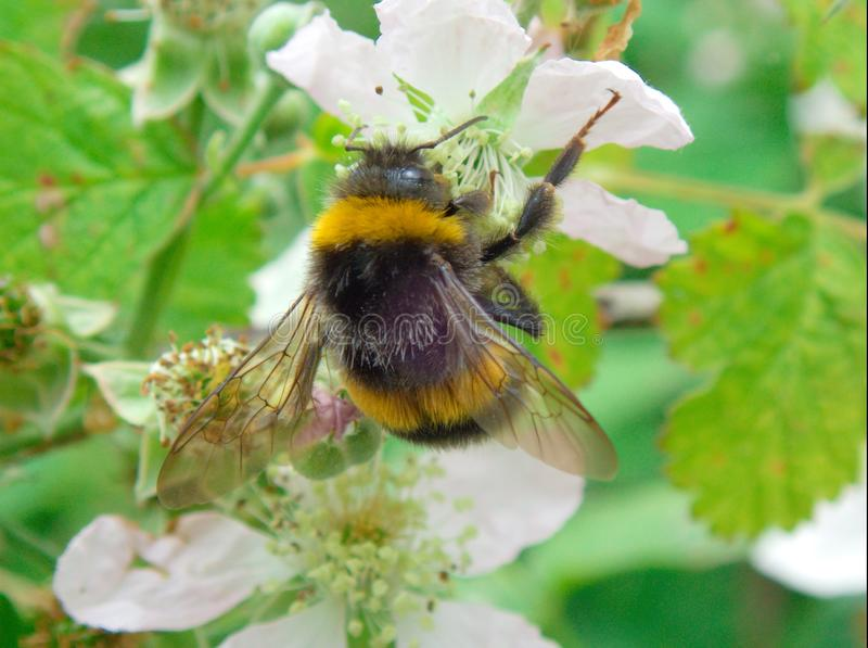 Bombus terrestris landing on blossom. Bombus terrestris or Bumble Bee landing on blackberry blossom during May in the UK royalty free stock image