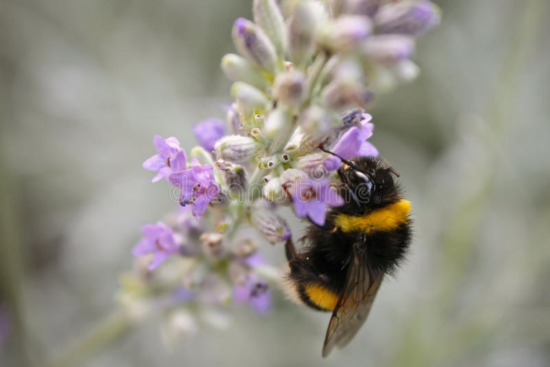 Bombus terrestris royalty free stock photos