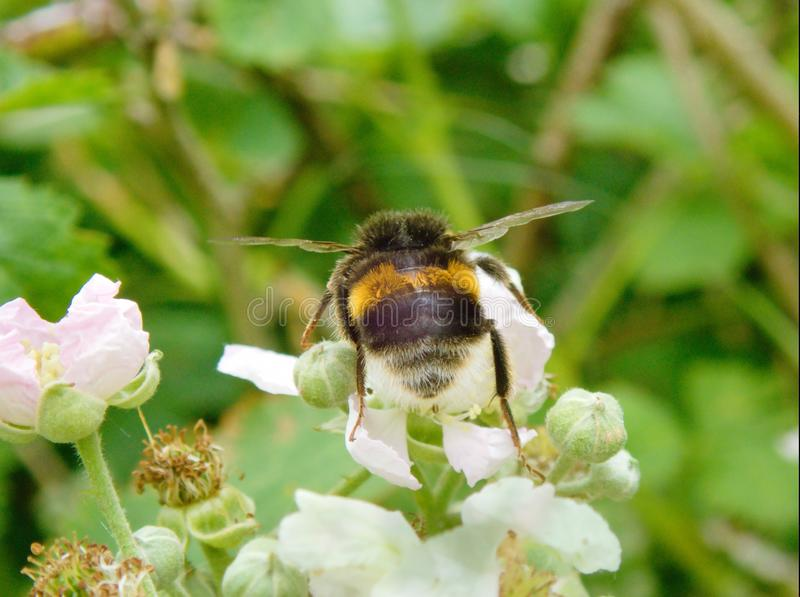 Bombus terrestris landing on blossom. Bombus terrestris or Bumble Bee landing on blackberry blossom during May in the UK stock photography