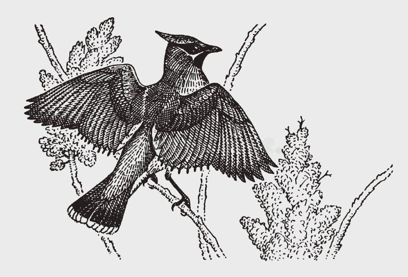 Bombycilla del Waxwing que se sienta en una rama y que separa sus alas libre illustration