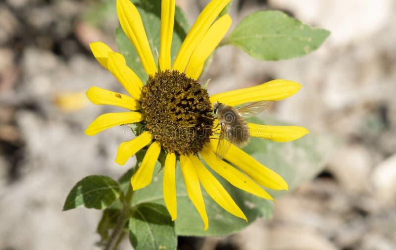 Bombyliidae de mouche d'abeille rassemblant le pollen sur un tournesol sauvage photos stock