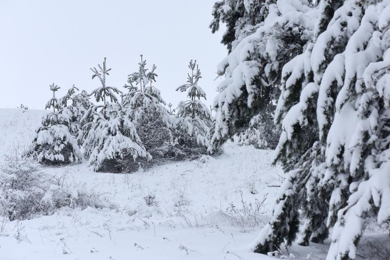 Bomen behandelde sneeuw Kerstbomen met witte sneeuw worden behandeld die fro royalty-vrije stock afbeeldingen