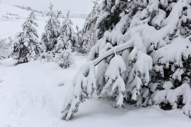 Bomen behandelde sneeuw Kerstbomen met witte sneeuw worden behandeld die fro stock foto's