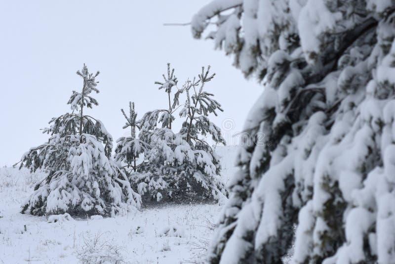 Bomen behandelde sneeuw Kerstbomen met witte sneeuw worden behandeld die fro stock afbeeldingen