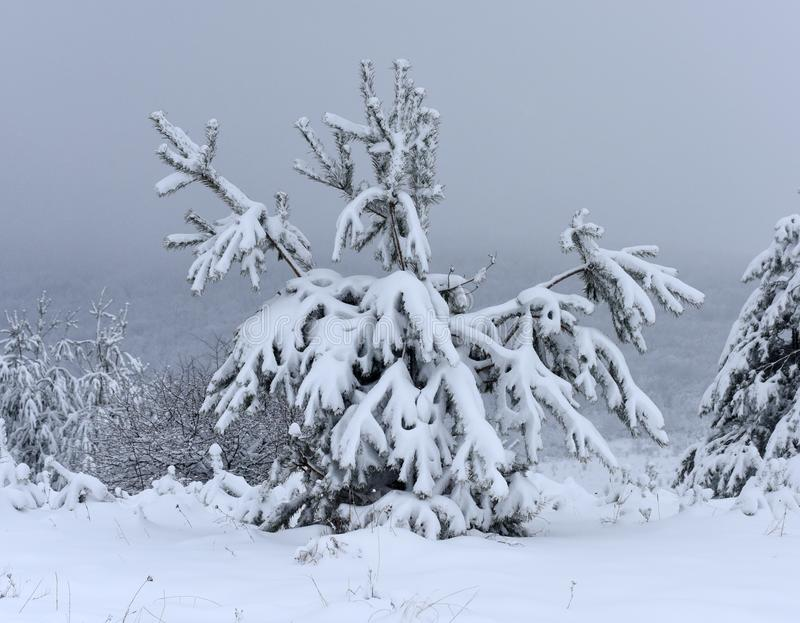 Bomen behandelde sneeuw Kerstbomen met witte sneeuw worden behandeld die fro royalty-vrije stock fotografie