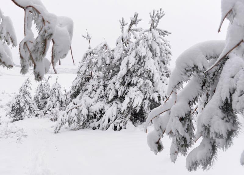 Bomen behandelde sneeuw Kerstbomen met witte sneeuw worden behandeld die fro royalty-vrije stock foto's