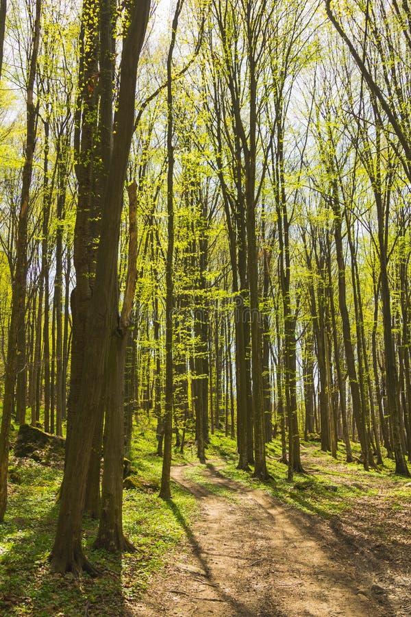 Bomen in bos in de lente stock foto's