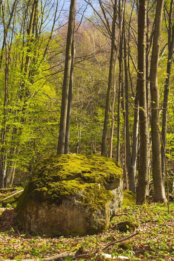 Bomen in bos in de lente stock afbeeldingen