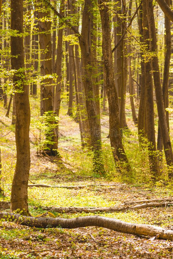 Bomen in bos in de lente royalty-vrije stock foto