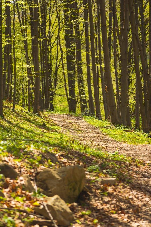 Bomen in bos in de lente stock fotografie