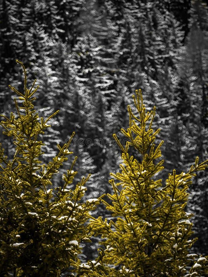 Bomen in de Franse alpen met een zwart-witte achtergrond stock foto