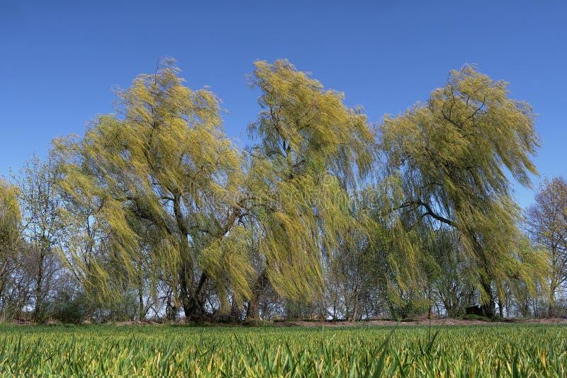 Bomen in de wind royalty-vrije stock afbeelding