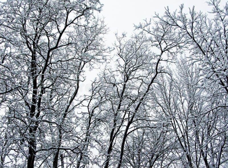 Bomen in de winter stock foto