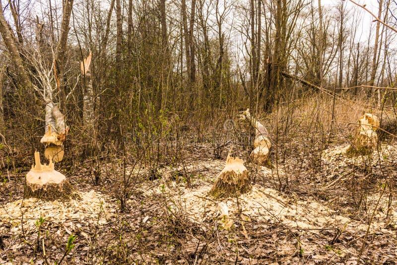 Bomen die door bever worden beschadigd royalty-vrije stock fotografie