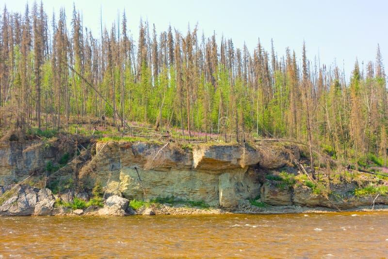 Bomen die na een brandwond op de noordwestengebieden regenereren stock fotografie