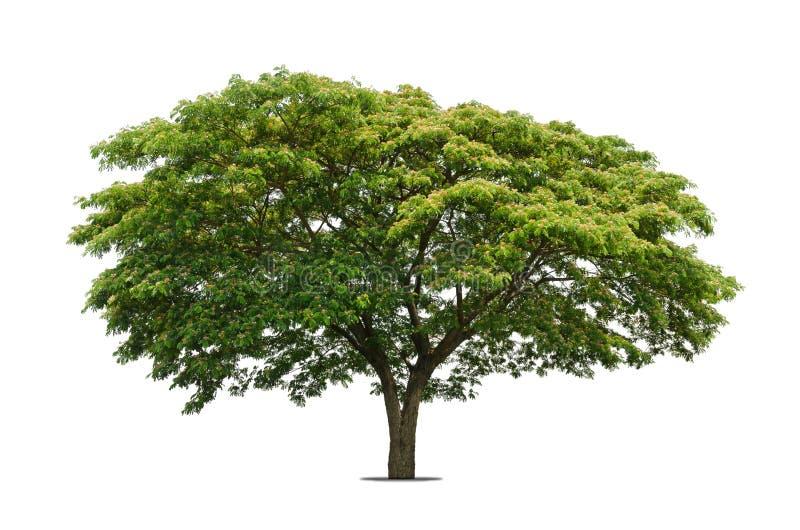 Bomen die op wit worden geïsoleerdl royalty-vrije stock afbeeldingen