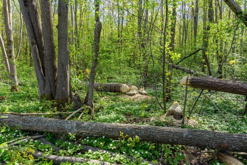 Bomen in een bos door bevers wordt verminderd die stock foto's
