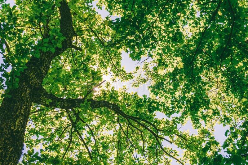 Bomen in een eiken bos op een de lente of de zomer Zonnige dag stock foto's