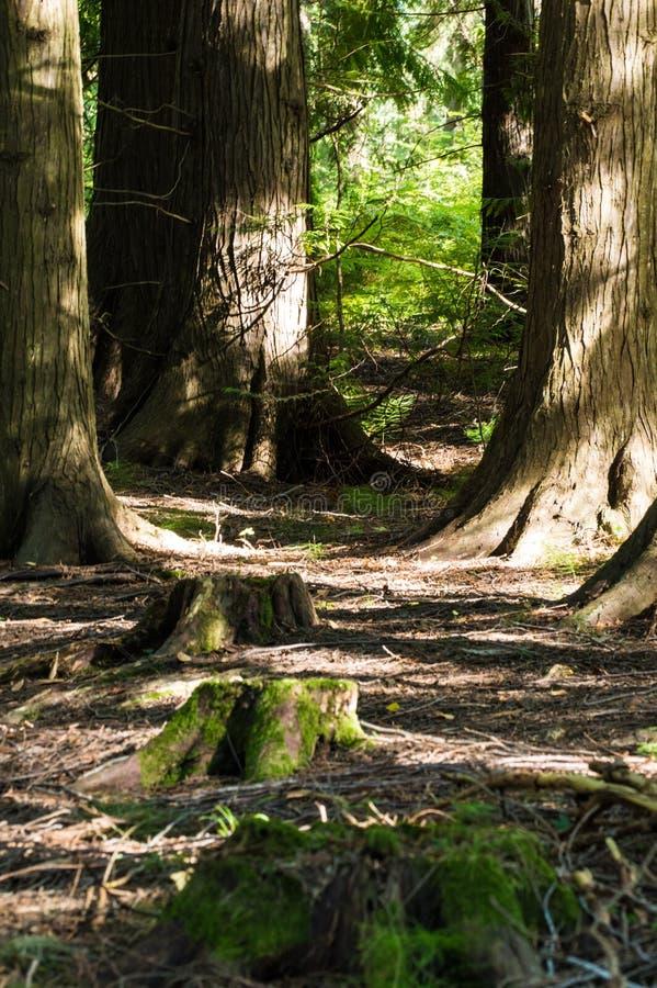 Bomen en drie stompen stock afbeelding
