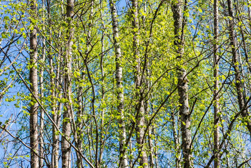 Download Bomen In Het Bos - De Kroon Van Bladeren Tegen De Hemel Stock Afbeelding - Afbeelding bestaande uit helder, ontruim: 54078203