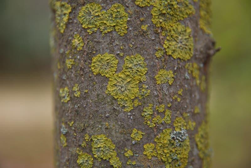Bomen in het Nationaal Park Sequoia boomstam met mos Het groene mos op de achtergrond van de schors De textuur van de boomschors royalty-vrije stock afbeelding