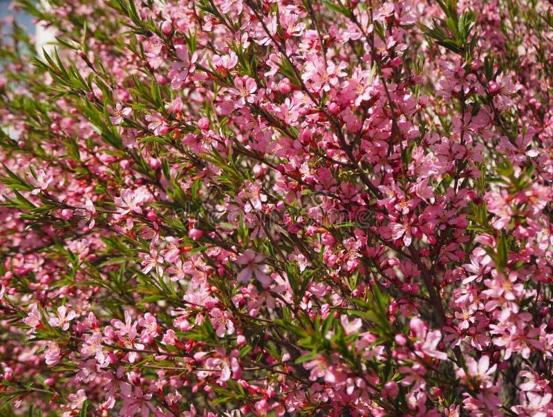 Bomen het roze bloemen bloeien stock fotografie