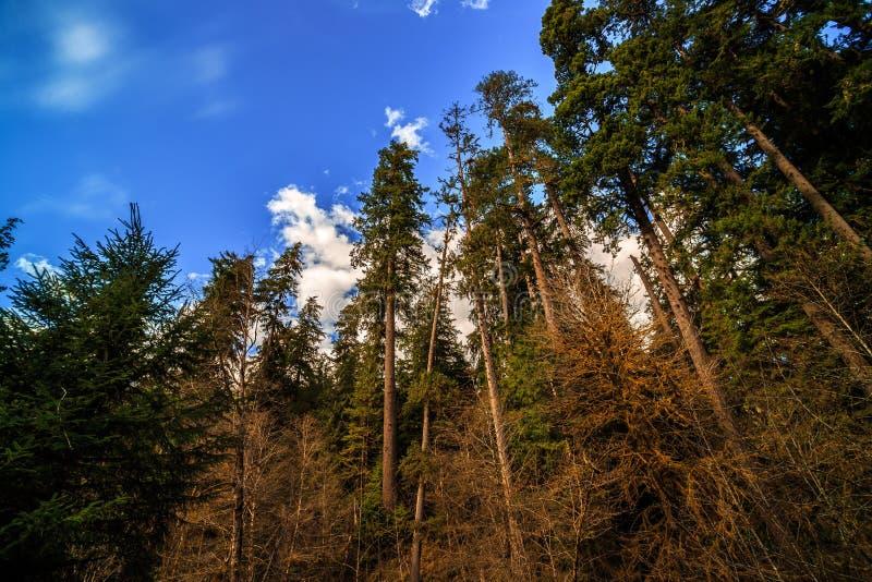 Bomen in Hoh Rain Forest in Olympisch Nationaal Park stock fotografie